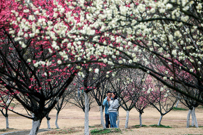 24h qua ảnh: Hoa anh đào nở rộ ở thủ đô Nhật Bản - Ảnh 12.