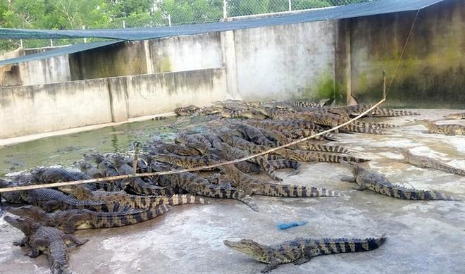 Ảnh: Hàng trăm ngàn con cá sấu nằm đói lả ở Bình Dương, Đồng Nai - Ảnh 6.