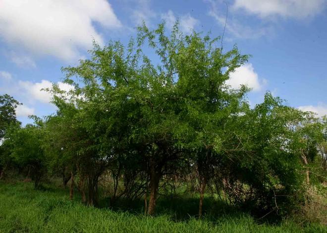 Những cây gỗ tươi quý hiếm bậc nhất thế giới, có giá trên trời mà đại gia săn lùng - Ảnh 17.