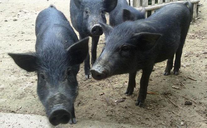 """Thịt lợn đen giá đắt hơn lợn trắng: Chất lượng dinh dưỡng có """"tiền nào của đấy"""" không?"""