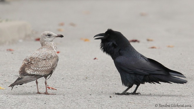 Một mình hải âu so găng với 2 quạ đen: Cuộc chiến giành địa bàn của những kẻ thiên địch - Ảnh 8.