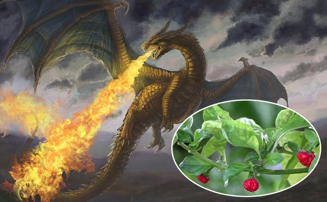 Hơi thở rồng - Loài ớt cay nhất thế giới nhưng lại không dùng để ăn!