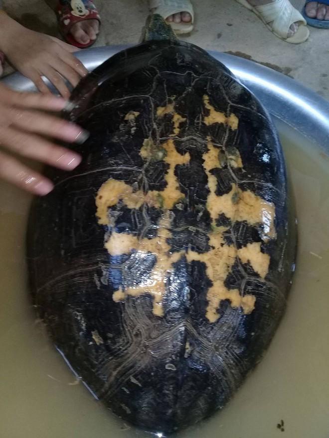 Rùa khủng vân vàng sắp tuyệt chủng được giải cứu - Ảnh 1.