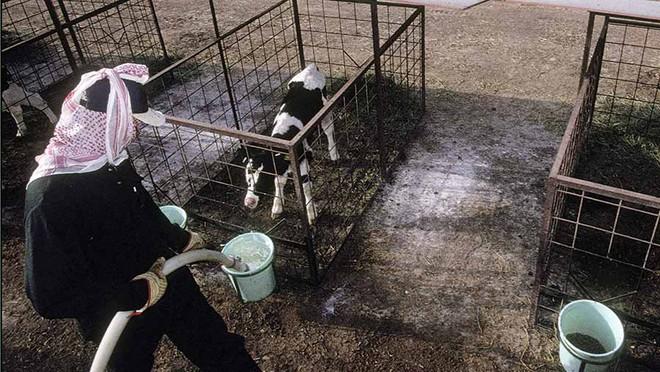 Trung Quốc và Nga bắt tay, chuẩn bị cho ra đời trang trại sản xuất sữa lớn nhất thế giới - Ảnh 4.