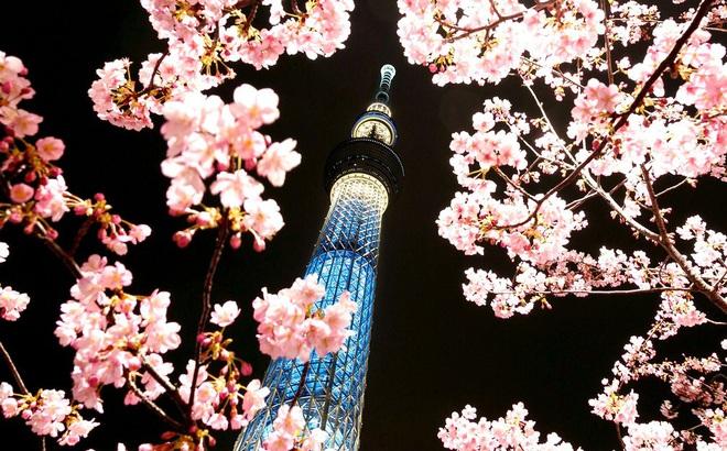 24h qua ảnh: Hoa anh đào nở rộ ở thủ đô Nhật Bản