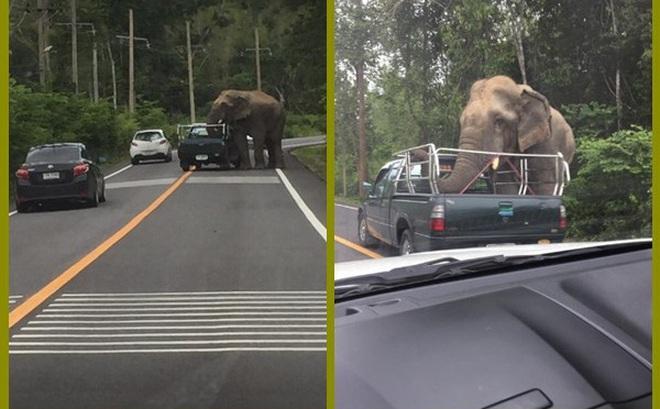 Đói bụng, voi hoang dã bất ngờ chặn xe, cướp hoa quả của người đi đường