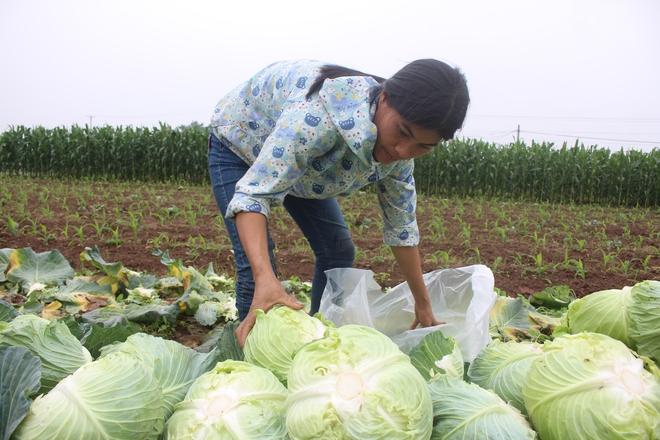 Rau sạch VietGap giá rẻ như cho, nông dân khóc ròng trên ruộng - Ảnh 6.