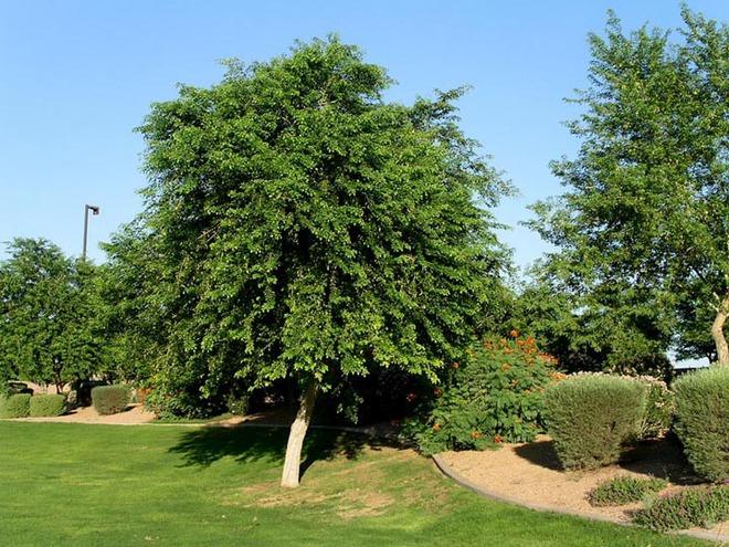 Những cây gỗ tươi quý hiếm bậc nhất thế giới, có giá trên trời mà đại gia săn lùng - Ảnh 8.