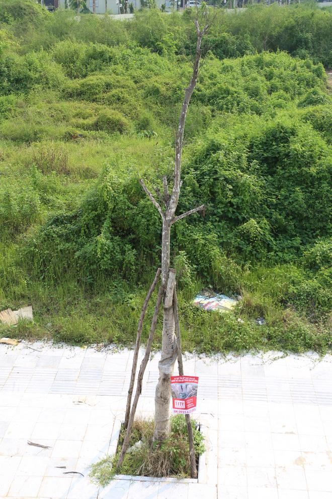 Hàng loạt cây xanh tiếp tục chết sau khi trồng lại ở con đường nghìn tỉ - Ảnh 6.