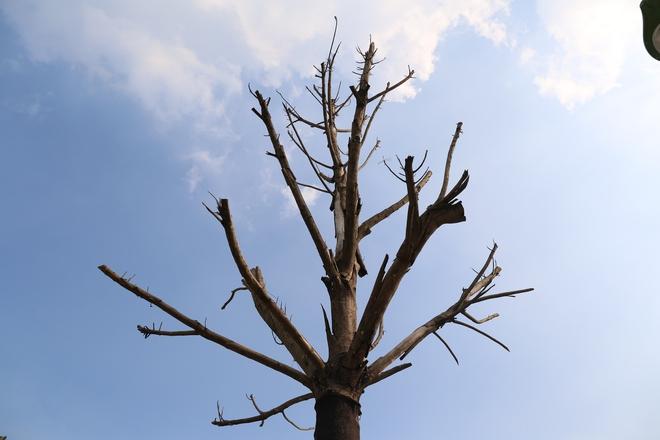 Hàng loạt cây xanh tiếp tục chết sau khi trồng lại ở con đường nghìn tỉ - Ảnh 3.
