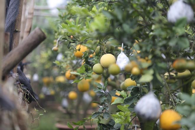 Lão nông thu về hàng trăm triệu nhờ ghép 10 loại quả trên cùng một cây cảnh ở Hà Nội - Ảnh 3.
