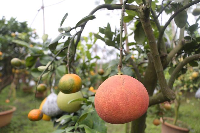 Lão nông thu về hàng trăm triệu nhờ ghép 10 loại quả trên cùng một cây cảnh ở Hà Nội - Ảnh 4.