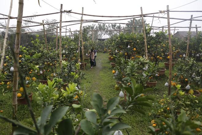 Lão nông thu về hàng trăm triệu nhờ ghép 10 loại quả trên cùng một cây cảnh ở Hà Nội - Ảnh 1.