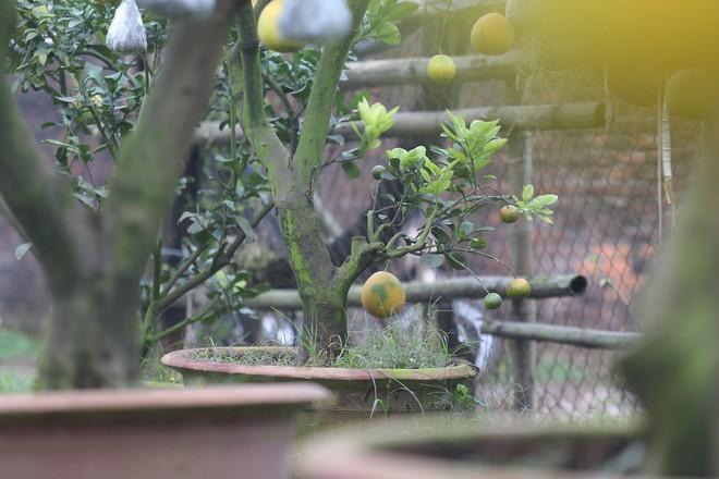 Lão nông thu về hàng trăm triệu nhờ ghép 10 loại quả trên cùng một cây cảnh ở Hà Nội - Ảnh 8.