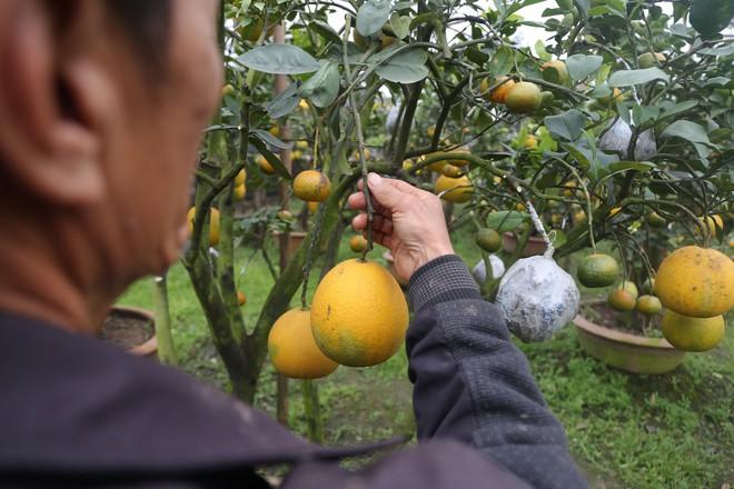 Lão nông thu về hàng trăm triệu nhờ ghép 10 loại quả trên cùng một cây cảnh ở Hà Nội - Ảnh 9.