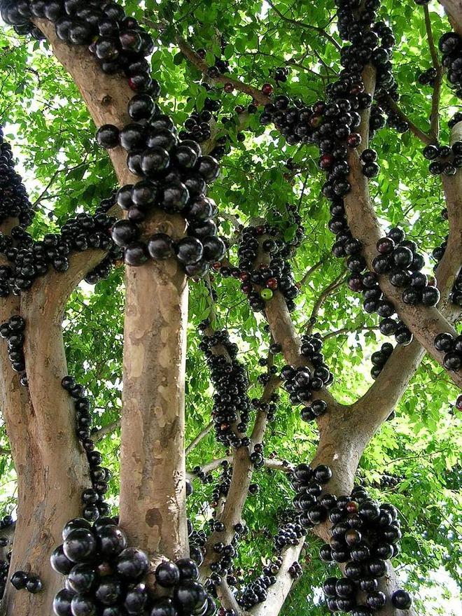 Loài cây kỳ lạ mọc quả ở thân mà chỉ tỷ phú mới dám mua về chơi - Ảnh 1.