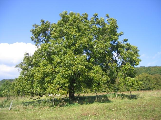 Những cây gỗ tươi quý hiếm bậc nhất thế giới, có giá trên trời mà đại gia săn lùng - Ảnh 23.