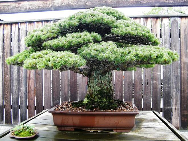 5 siêu cây cảnh hiếm có nhất hành tinh: Cây ở Nhật sống sót qua cả thảm họa bom hạt nhân - Ảnh 4.