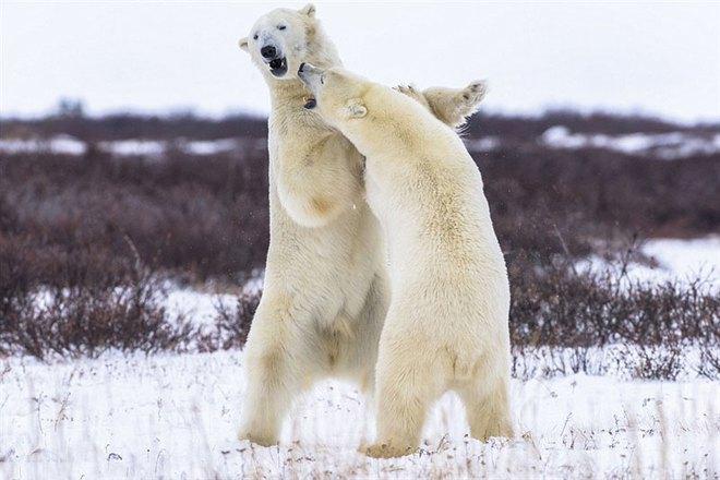 Lạnh lùng như ninja, gấu trắng Bắc Cực nhanh chóng hạ sát hải cẩu - Ảnh 1.