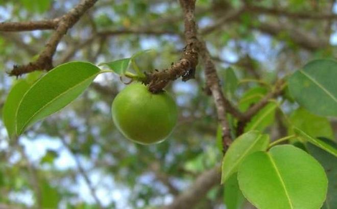 Loài cây có quả chín mọng, ngọt ngào nhưng nguy hiểm bậc nhất hành tinh