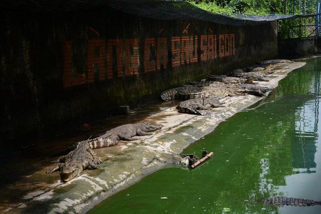 Ảnh: Hàng trăm ngàn con cá sấu nằm đói lả ở Bình Dương, Đồng Nai - Ảnh 3.