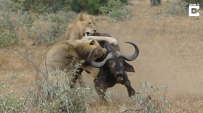 Cố chấp đi săn, sư tử bị cả đàn trâu rừng đánh hội đồng - Ảnh 1.