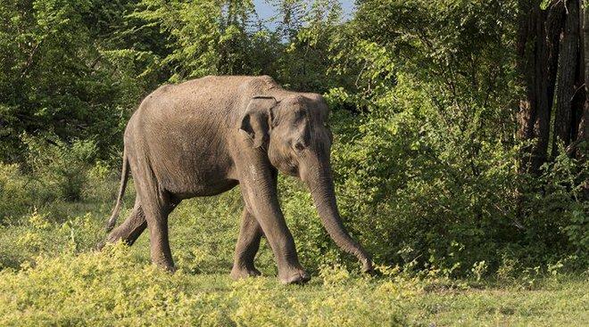 Xuất hiện voi điên giết người hàng loạt ở Ấn Độ - Ảnh 1.