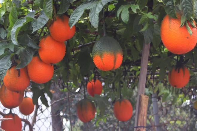 VN dùng quả này để nấu ăn sáng, vì sao thế giới ca tụng là trái cây đến từ thiên đường? - Ảnh 3.
