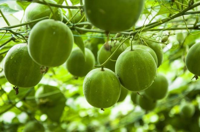 5 bài thuốc chữa bệnh quý nhất từ loại trái cây bình dân có nhiều ở Việt Nam - Ảnh 1.