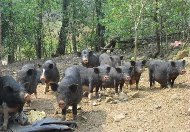 Thịt lợn đen giá đắt hơn lợn trắng: Chất lượng dinh dưỡng có tiền nào của đấy không? - Ảnh 1.