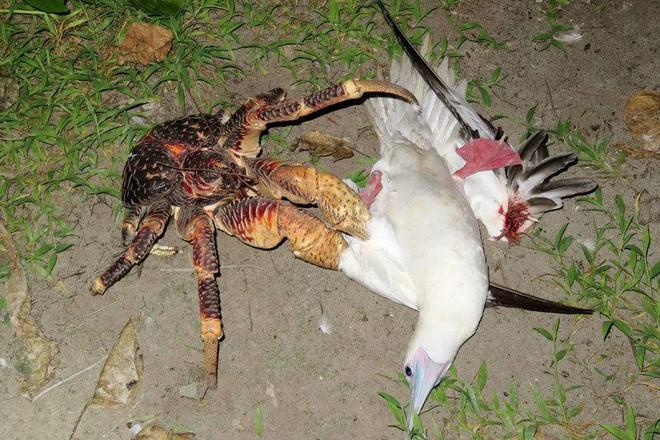 Kinh dị loài cua khổng lồ bóc dừa, bẻ chim và thống trị cả một hòn đảo - Ảnh 2.