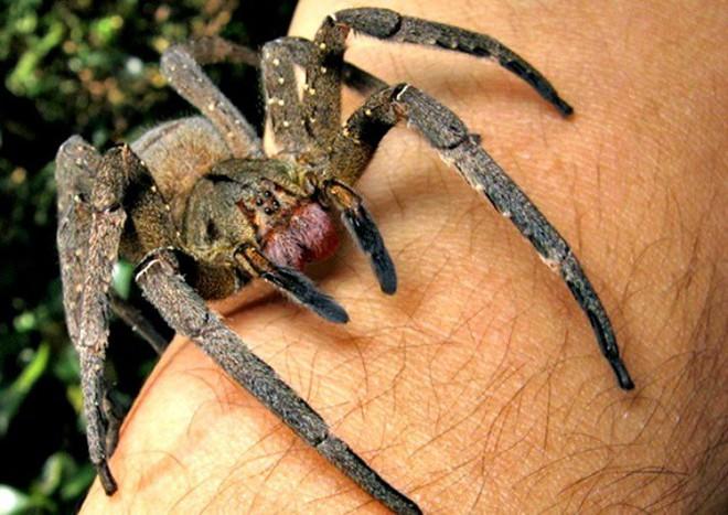 Tìm hiểu về nhện lang thang Brazil, một trong những loài nhện độc nhất hành tinh - Ảnh 1.