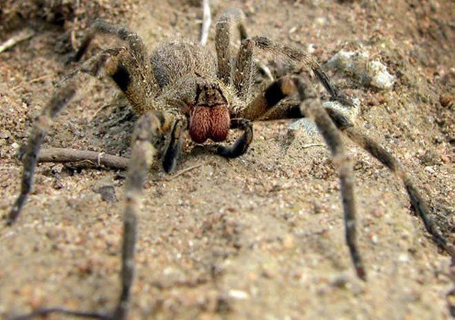 Tìm hiểu về nhện lang thang Brazil, một trong những loài nhện độc nhất hành tinh - Ảnh 2.