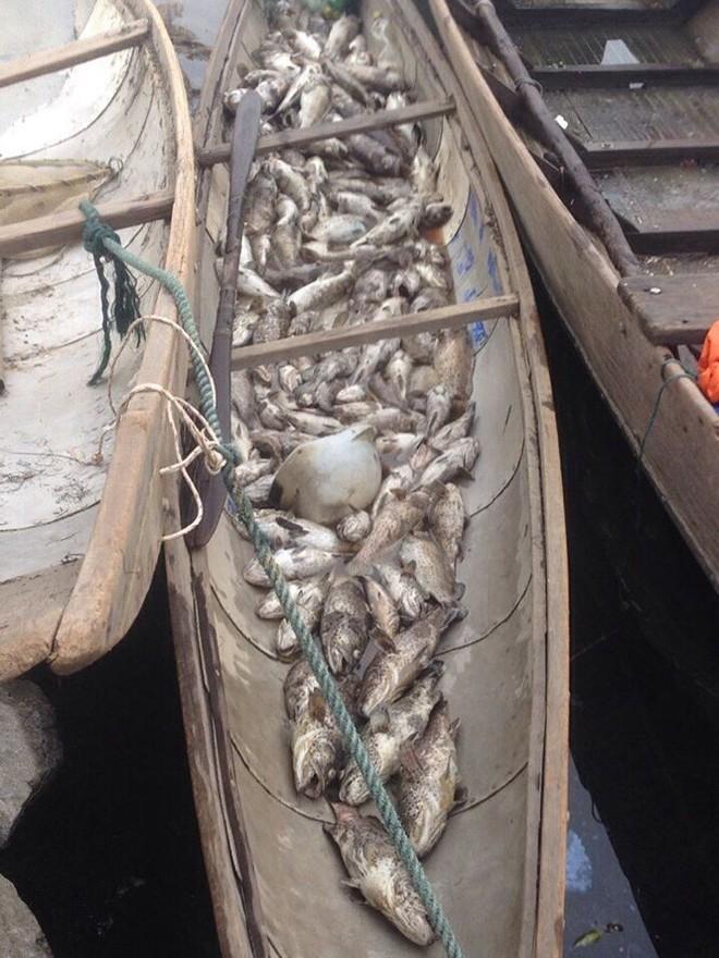 Dân Huế khóc ròng vì hàng trăm tấn cá đặc sản chết nổi trắng lồng sau lũ - Ảnh 1.