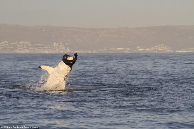 Bị dồn vào đường cùng, hải cẩu cắn xé ngấu nghiến cá mập để giành lại sự sống - Ảnh 1.