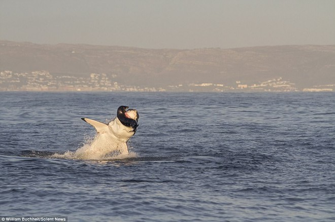 Bị dồn vào đường cùng, hải cẩu cắn xé ngấu nghiến cá mập để giành lại sự sống - Ảnh 3.