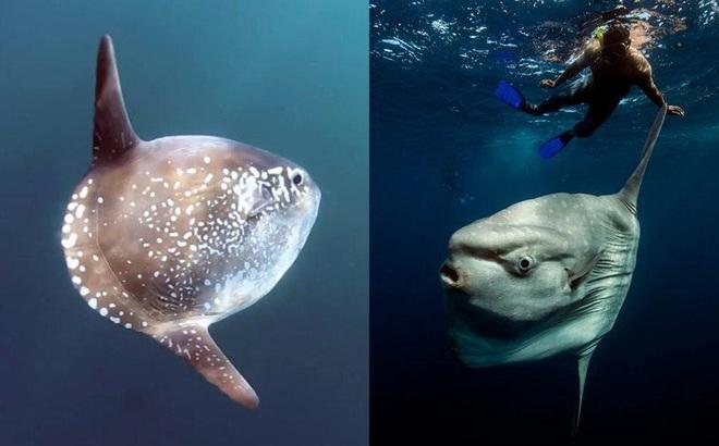Trốn tránh giới khoa học 130 năm, loài cá khổng lồ nặng 2 tấn đã bị phát hiện