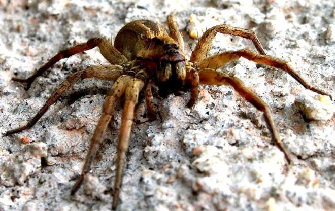 Tìm hiểu về nhện lang thang Brazil, một trong những loài nhện độc nhất hành tinh - Ảnh 3.