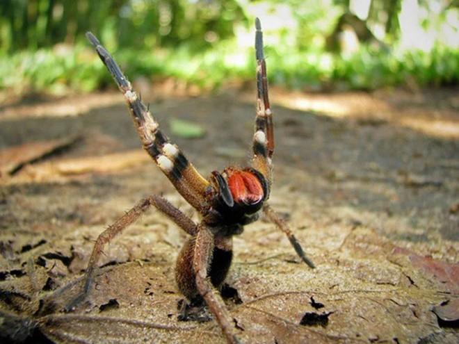 Tìm hiểu về nhện lang thang Brazil, một trong những loài nhện độc nhất hành tinh - Ảnh 4.
