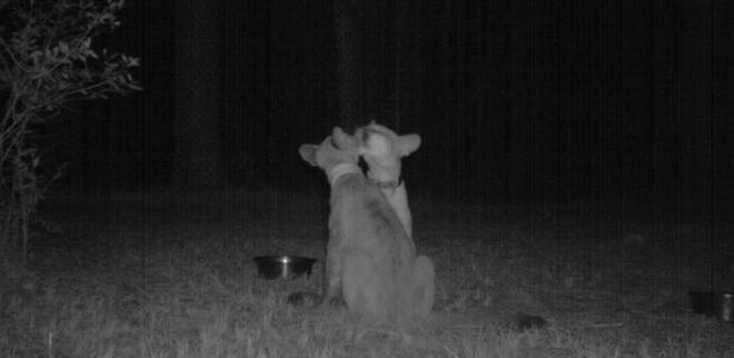 Đặt máy quay lén động vật, thợ săn bất ngờ khi thấy những hành vi kỳ lạ của chúng - Ảnh 6.