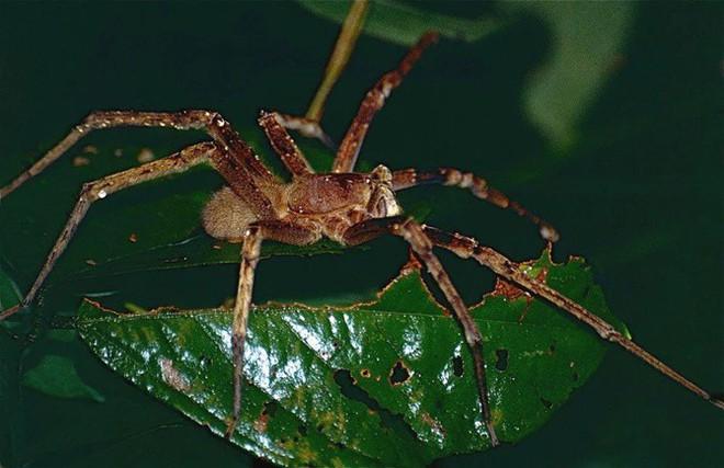 Tìm hiểu về nhện lang thang Brazil, một trong những loài nhện độc nhất hành tinh - Ảnh 5.