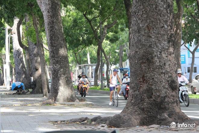 TP.HCM: Ngắm hàng cây cổ thụ gần 100 tuổi trước giờ đốn hạ và di dời - Ảnh 6.