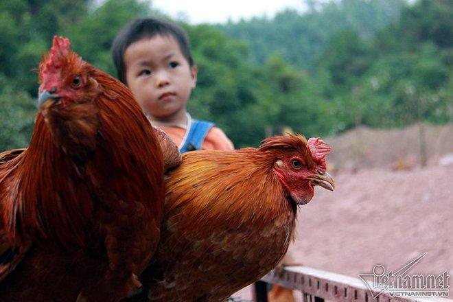 Độc đáo vua gà có râu, có mũ ở đất Quảng Ninh - Ảnh 5.