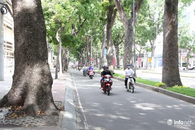 TP.HCM: Ngắm hàng cây cổ thụ gần 100 tuổi trước giờ đốn hạ và di dời - Ảnh 7.