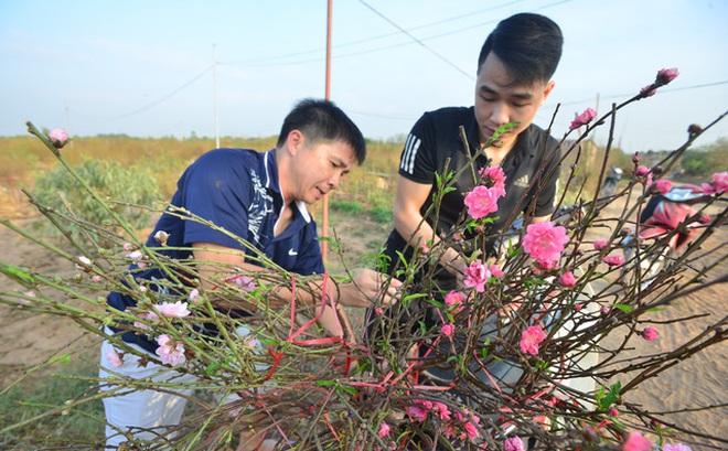 Hà Nội: Đào, quất nở sớm, nhiều người Nhật Tân lo mất Tết