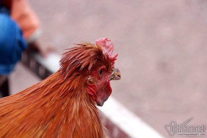 Độc đáo vua gà có râu, có mũ ở đất Quảng Ninh - Ảnh 6.