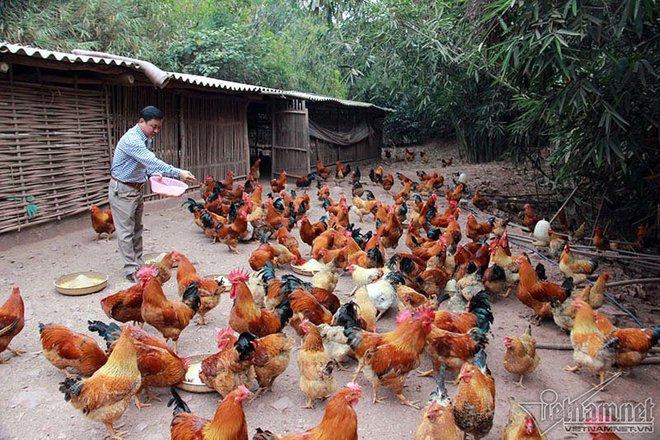 Độc đáo vua gà có râu, có mũ ở đất Quảng Ninh - Ảnh 7.