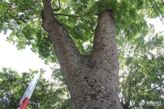 TP.HCM: Ngắm hàng cây cổ thụ gần 100 tuổi trước giờ đốn hạ và di dời - Ảnh 9.