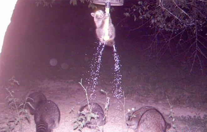 Đặt máy quay lén động vật, thợ săn bất ngờ khi thấy những hành vi kỳ lạ của chúng - Ảnh 10.