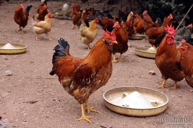 Độc đáo vua gà có râu, có mũ ở đất Quảng Ninh - Ảnh 8.